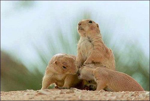 Суслики. Фото, фотография картинка грызуны