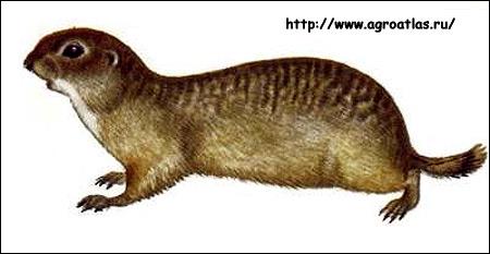 Малый суслик (Citellus pygmaeus). Рисунок, картинка грызуны