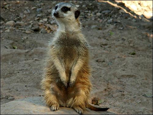 Сурикат. Фото, фотография картинка грызуны