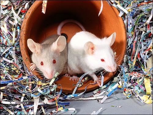 Крысы-альбиносы. Фото, фотография картинка грызуны