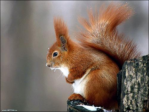 Рыжая белка. Фото, фотография картинка грызуны
