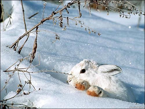 Заяц-беляк прячется в белом снегу. Фото, фотография картинка животные