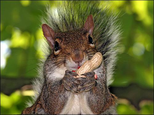 Серая белка грызет орех арахиса. Фото, фотография картинка животные