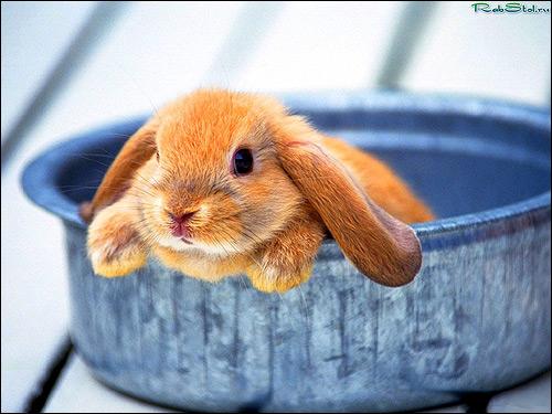 Лопоухий кролик. Фото, фотография картинка животные