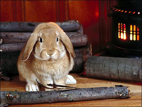 Вислоухий кролик. Фото, фотография картинка животные