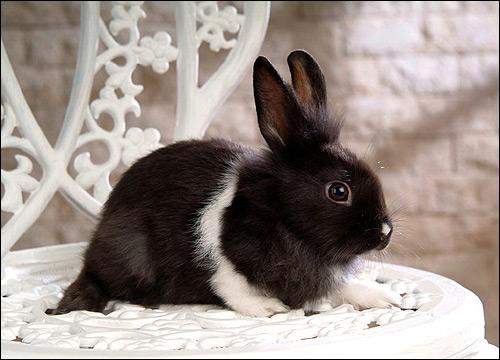Карликовый кролик. Фото, фотография картинка животные