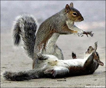 Играющие белки. Фото, фотография картинка грызуны