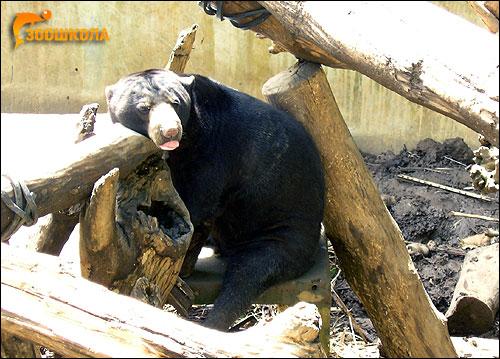 Малайский медведь, бируанг (Helarctos malayanus). Фото, фотография картинка хищные звери