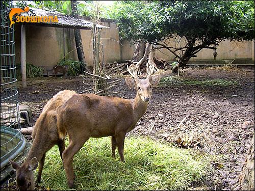 Олень Кули (Axis kuhlii). Фото, фотография картинка парнокопытные животные