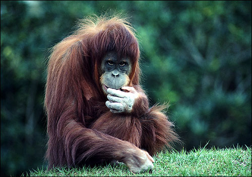 Молодой орангутан. Фото, фотография картинка приматы