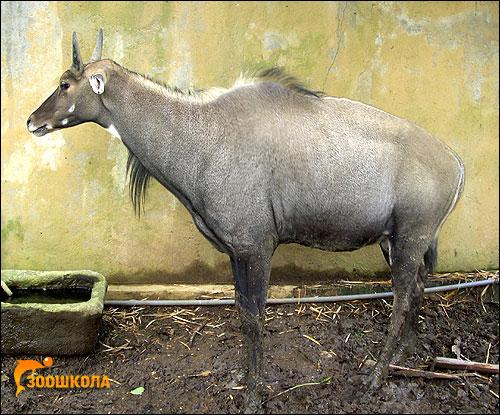 Нильгау (Boselaphus tragocamelus). Фото, фотография картинка копытные животные