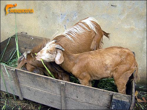 Домашние козы. Фото, фотография картинка парнокопытные животные