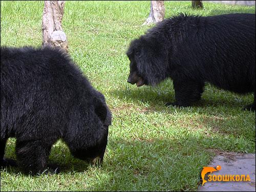Медведи-губачи (Melursus ursinus). Фото, фотография картинка хищные звери