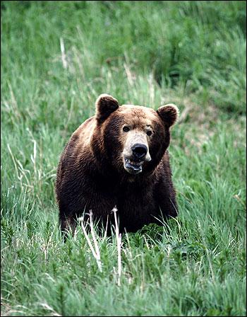 Бурый медведь (Ursus arctos). Фото, фотография картинка дикие звери