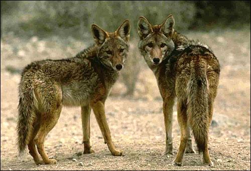 Шакалы, Фото, фотография картинка дикие звери