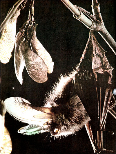Европейский бурый ушан ( Plecotus auritus). Фото, фотография картинка животные