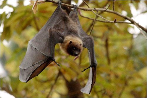 Летучая лисица (Pteropus). Фото, фотография картинка рукокрылые животные