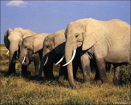 Стадо слонов. Фото, фотография животные