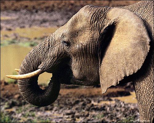 Голова слона. Фото, фотография картинка животные