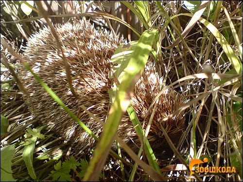 Европейский еж, обыкновенный еж (Erinaceus europaeus). Фото, фотография картинка насекомоядные животные