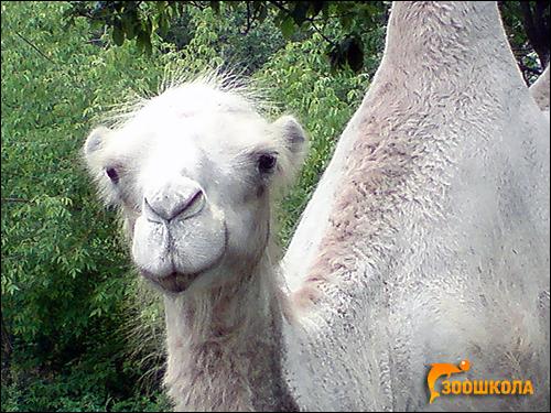 Двугорбый верблюд (Camelus bactrianus). Фото, фотография картинка животные
