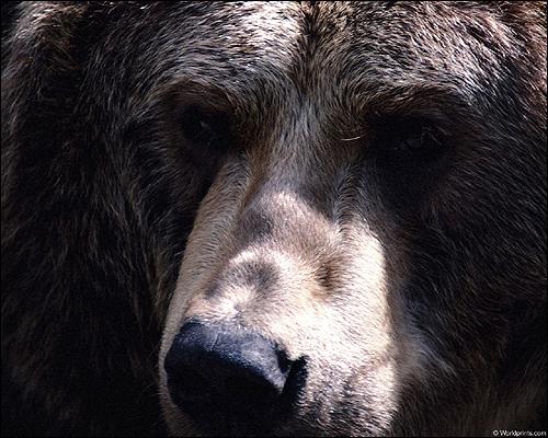 Морда медведя. Фото, фотография картинка хищные звери