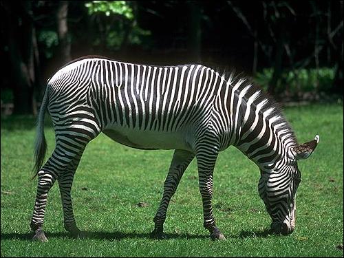 Зебра (Hippotigris). Фото, фотография картинка непарнокопытное животное
