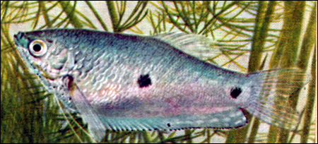 Пятнистый гурами (Trichogaster trichopterus). Фото, фотография картинка рыбы