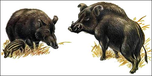 Пара диких кабанов (Sus scorfa). Рисунок, картинка копытные животные