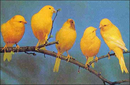 Канарейки, Фото фотография картинка птицы
