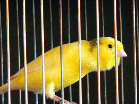 Канарейка (кенор, кенар), Фото фотография картинка птицы