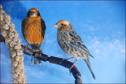 Цветные канарейки, Фото фотография картинка птицы