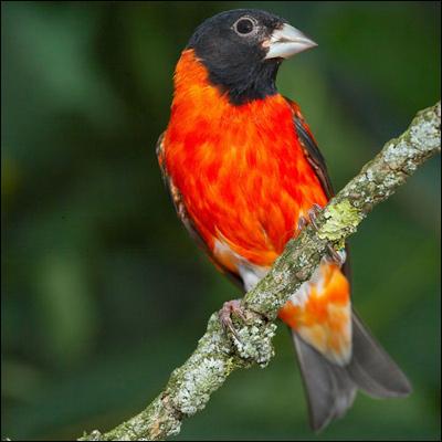 Цветная канарейка, Фото фотография картинка птицы