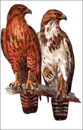 Канюк (Buteo buteo), Рисунок картинка хищные птицы