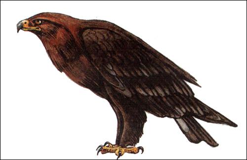 Большой подорлик (Aquila clanga), Рисунок картинка хищные птицы