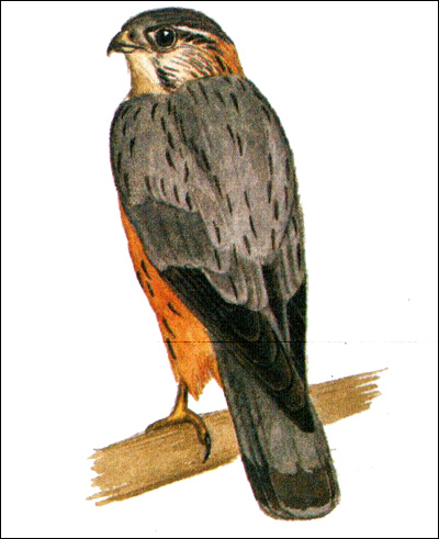 Дербник (Falco columbarius), Рисунок картинка хищные птицы