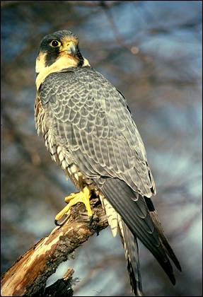 Сокол сапсан (Falco peregrinus), Фото фотография картинка хищные птицы