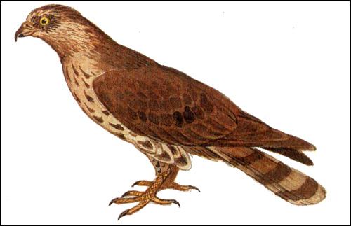 Осоед (Pernis apivorus), Рисунок картинка хищные птиы