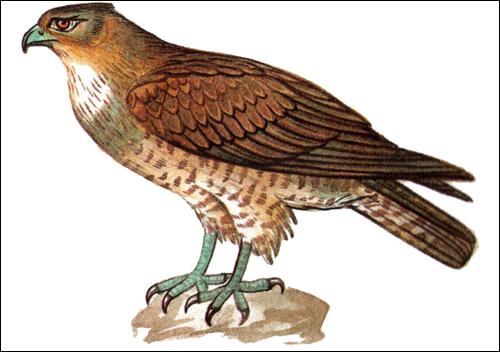 Змееяд (Circaetus gallicus), Рисунок картинка птицы
