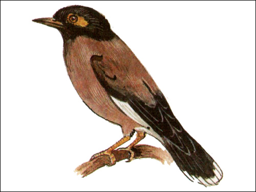 Майна (Acridotheres tristis), Картинка рисунок птицы