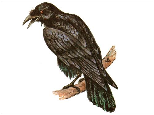Ворон (Corvus corax), Рисунок картинка птицы