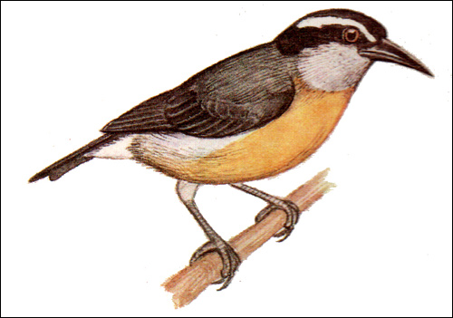 Цветочница (Cyanerpes), Рисунок картинка птицы