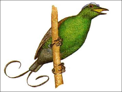 Райская птица Нильсона, Рисунок картинка птицы