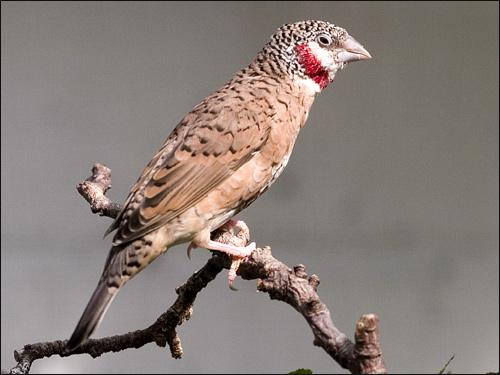Красногорлая амадина (Amadina fasciata), Фото фотография картинка птицы