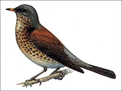 Дрозд-рябинник (Turdus pilaris), Рисунок картинка птицы