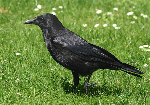 птицы фото ворон
