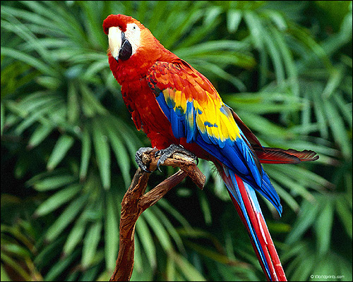 Красный ара, араканга, ара макао, ара Скарлета (Ara macao), Фото фотография картинка птицы попугаи