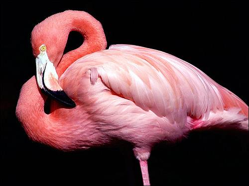 Розовый фламинго (Phoenicopterus roseus), Фото фотография картинка птицы