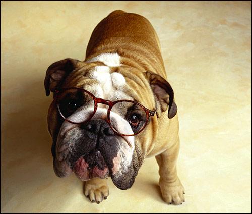 Английский бульдог в очках, Фото фотография собаки картинка