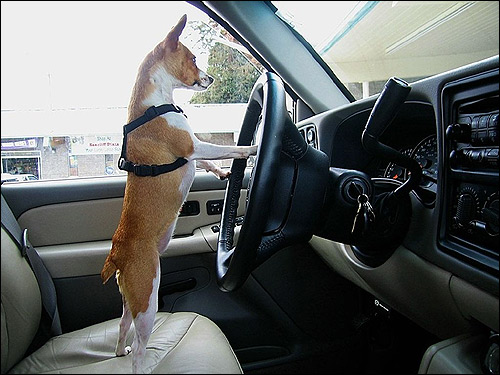 Чихуахуа за рулем машины, чиуха, Фото фотография